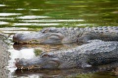 Alligatorer, i att vänta för flod Fotografering för Bildbyråer