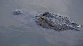 Alligatorer i ett träsk i Florida Arkivfoton