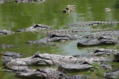 alligatorer många Fotografering för Bildbyråer