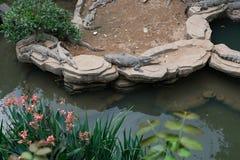Alligatorer nära ett damm Royaltyfria Foton