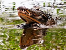 2 alligatorer omkring som ska födas upp i vatten, Florida Arkivfoto