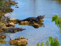 Alligatorer på Evergladesnationalparken Royaltyfri Foto