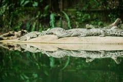 Alligatorer på zoo Arkivfoto