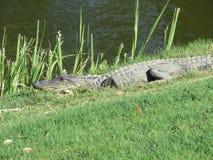 Alligatorer - reptilar som påminner oss av förhistoriska tider Royaltyfri Foto