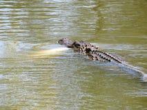 Alligatorer - reptilar som påminner oss av förhistoriska tider Arkivbild