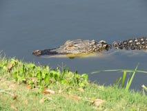 Alligatorer - reptilar som påminner oss av förhistoriska tider Royaltyfri Fotografi
