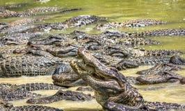 Alligatorer som konkurrerar för mat Royaltyfri Foto