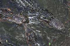 Alligatorer som svävar på vatten Fotografering för Bildbyråer