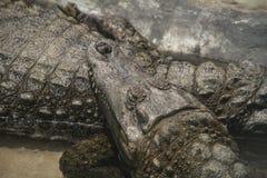 2 alligatorer som vilar i flodstranden royaltyfria foton