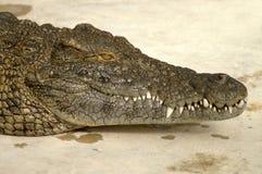 alligatorframsida arkivbild
