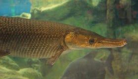 AlligatorGar Arkivbild