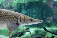 AlligatorGar 1 Arkivbilder