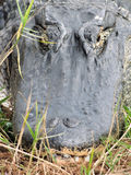 alligatorhuvud Arkivbild