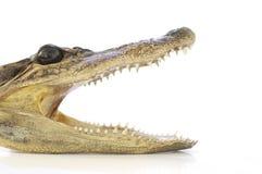 Alligatorhuvud, fokus på öga. Fotografering för Bildbyråer