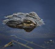 Alligatorhuvud i vattnet Arkivfoto