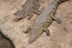 Alligatori Immagini Stock Libere da Diritti