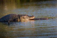 Alligatori accoppiamento al tramonto Fotografia Stock