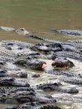 Alligatori affamati Fotografia Stock
