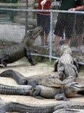 Alligatori affamati Fotografie Stock Libere da Diritti