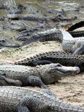 Alligatori affamati Immagine Stock