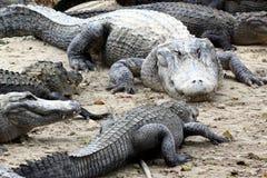 Alligatori affamati Immagini Stock Libere da Diritti