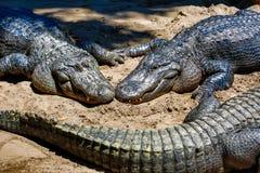 Alligatori al sole Immagini Stock