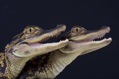 Alligatori/alligator mississippiensis Immagini Stock Libere da Diritti