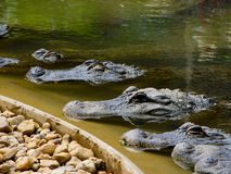 Alligatori allineati Immagine Stock Libera da Diritti