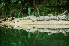 Alligatori allo zoo Fotografia Stock