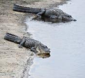 Alligatori americani Immagini Stock Libere da Diritti