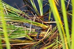 Alligatori americani del bambino nella zona umida di Florida Parco nazionale dei terreni paludosi in U.S.A. Piccoli alligatori Immagini Stock Libere da Diritti