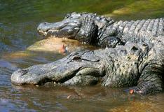 Alligatori americani di Florida Fotografia Stock Libera da Diritti