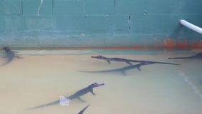 Alligatori caldi del bambino di giorno di estate in acqua 4k Florida S.U.A. stock footage