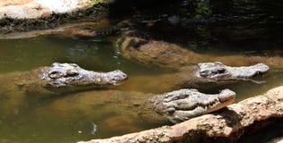 Alligatori che aspettano alimento Fotografie Stock Libere da Diritti