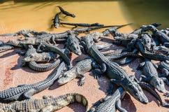 Alligatori che aumentano - fattoria, FL Fotografia Stock