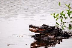 Alligatori che crescono in acqua delle zone umide, Florida Fotografia Stock Libera da Diritti