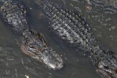 Alligatori che galleggiano sull'acqua Fotografia Stock Libera da Diritti