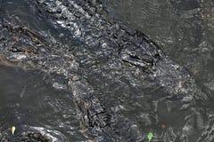 Alligatori che galleggiano sull'acqua Immagini Stock Libere da Diritti