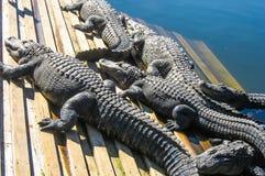 Alligatori che prendono il sole sulla piattaforma Fotografia Stock