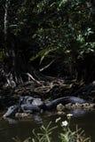 Alligatori che riposano, grande prerogativa nazionale di Cypress, Florida Fotografia Stock