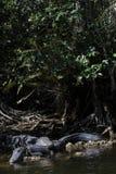 Alligatori che riposano, grande prerogativa nazionale di Cypress, Florida Immagine Stock