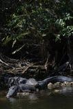 Alligatori che riposano, grande prerogativa nazionale di Cypress, Florida Immagini Stock Libere da Diritti