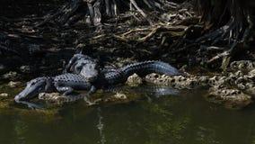 Alligatori che riposano, grande prerogativa nazionale di Cypress, Florida Fotografie Stock
