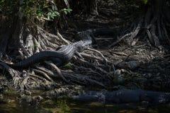 Alligatori che riposano, grande prerogativa nazionale di Cypress, Florida Immagini Stock