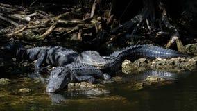 Alligatori che riposano, grande prerogativa nazionale di Cypress, Florida Immagine Stock Libera da Diritti