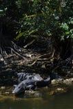 Alligatori che riposano, grande prerogativa nazionale di Cypress, Florida Fotografie Stock Libere da Diritti
