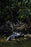 Alligatori che riposano, grande prerogativa nazionale di Cypress, Florida Fotografia Stock Libera da Diritti