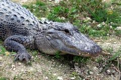 Alligatori che riposano nel fango Immagini Stock
