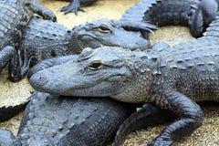 Alligatori che riposano nel fango Immagini Stock Libere da Diritti