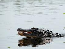 2 alligatori che si accoppiano nelle zone umide Immagine Stock Libera da Diritti
